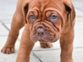 Dogue de Bordeaux puppy 7