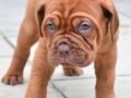 Dogue de Bordeaux puppy 7