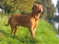 Dogue de Bordeaux 2