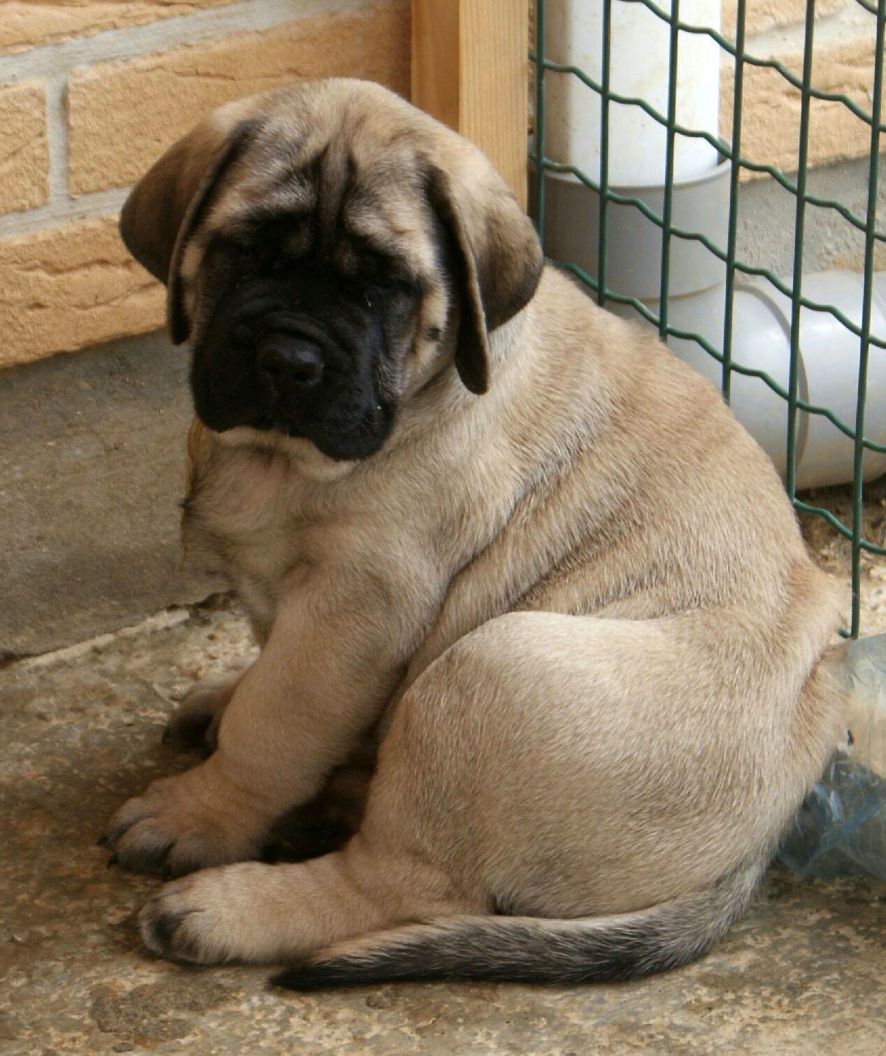 Neapolitan Mastiff Dog Names