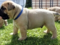 English Mastiff Puppy 1
