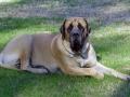 English Mastiff 4