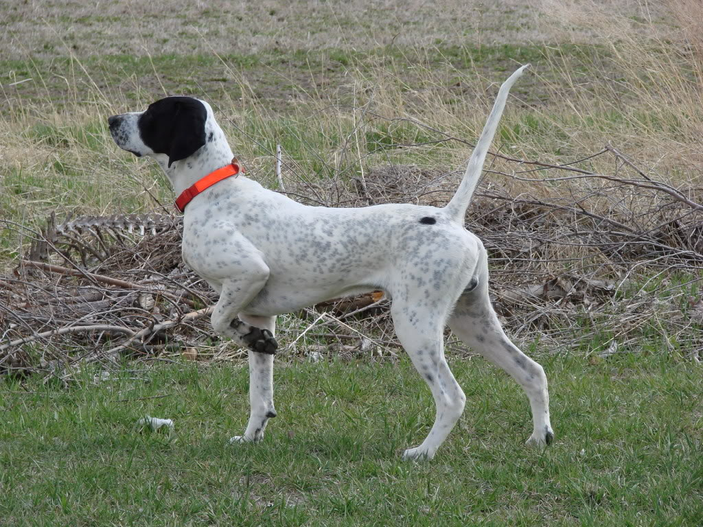 English Pointer - All Big Dog Breeds