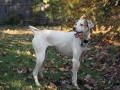 English Pointer 2