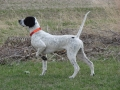 English Pointer 3