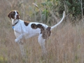 English Pointer 5