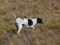 English Pointer 4