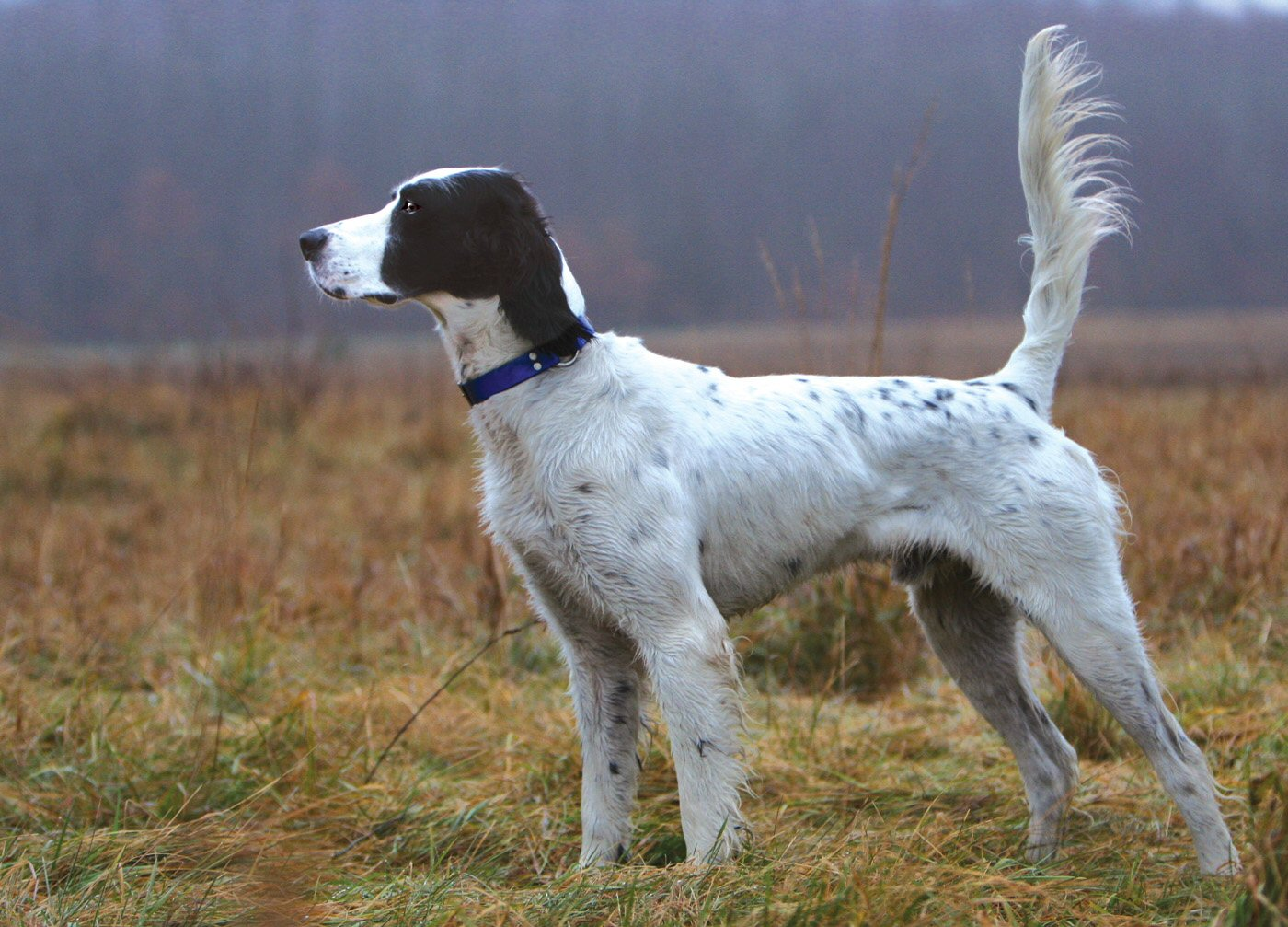 english setter all big dog breeds. Black Bedroom Furniture Sets. Home Design Ideas