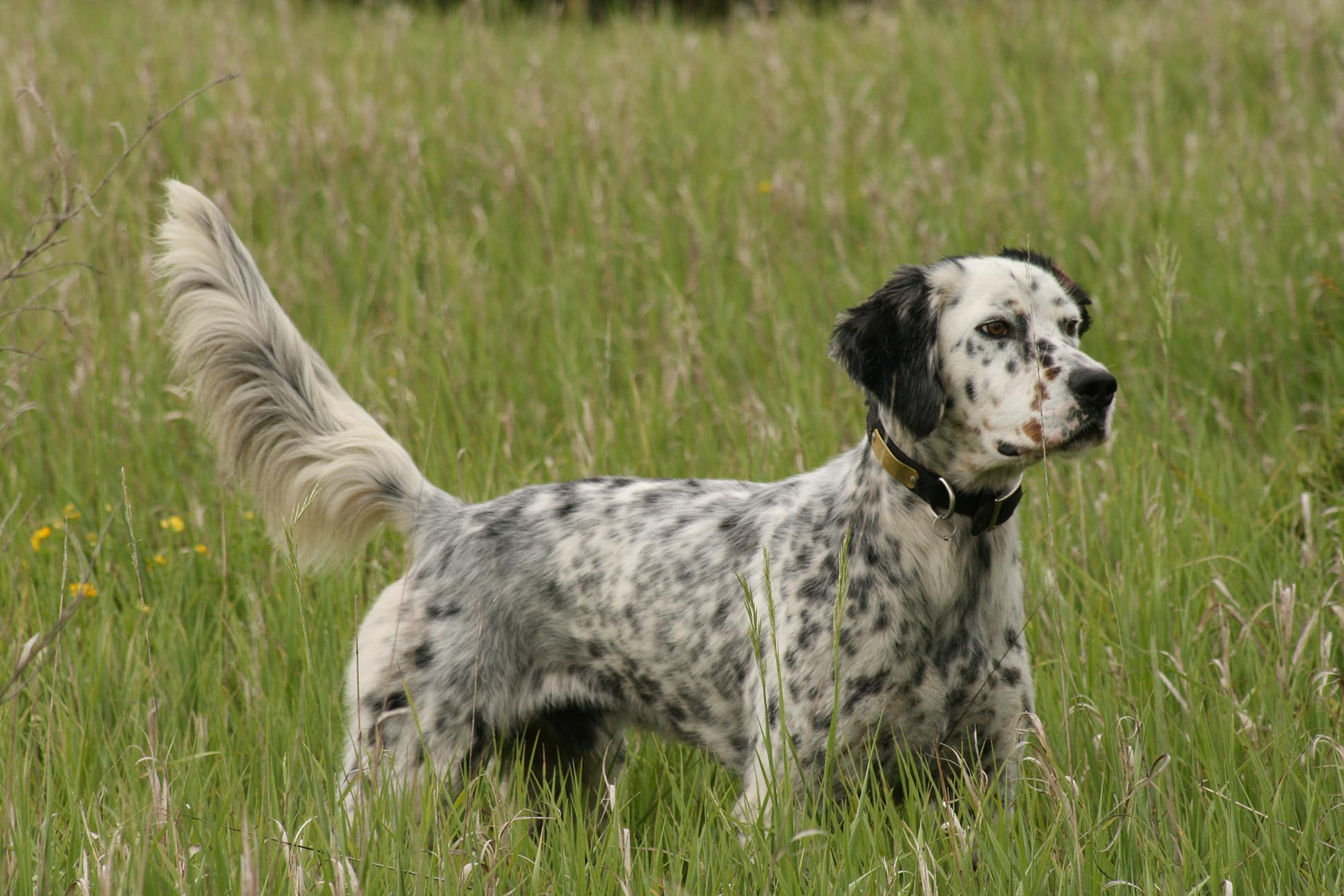 English Setter All Big Dog Breeds
