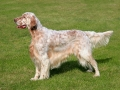 English Setter  On A Green Grass Lawn