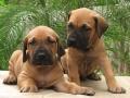 Fila Brasileiro puppy 1