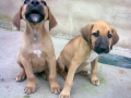 Fila Brasileiro puppy 2