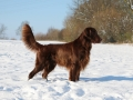 Brown Flat Coated Retriever Is Standing In The Snow