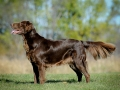 Flat Coated Retriever1