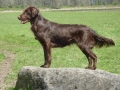 Flat Coated Retriever3