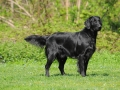 flat-coated-retriever-2