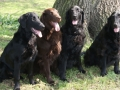 flat-coated-retriever-dogs-photo