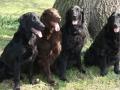 flat-coated-retriever-dogs-photo