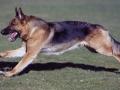 German Shepherd 2