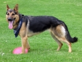 German Shepherd 3