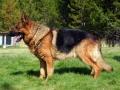 German Shepherd 5