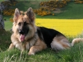 German Shepherd 6