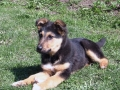 German Shepherd puppy 1