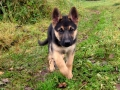 German Shepherd puppy 2