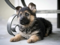 German Shepherd puppy 3