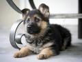 German Shepherd puppy 3