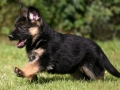 German Shepherd puppy 4