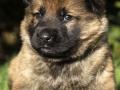 German Shepherd puppy 5