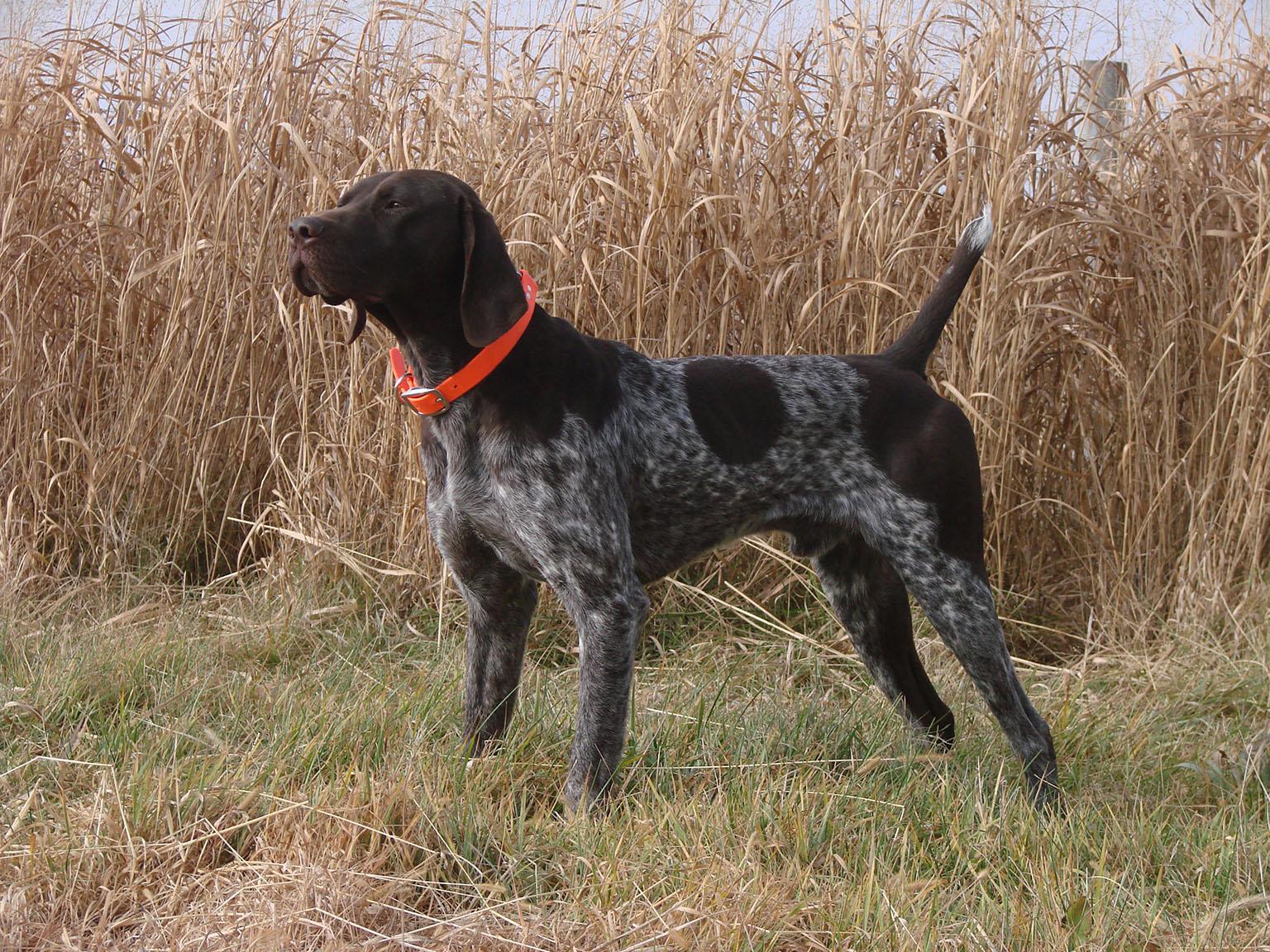 German Shorthaired Pointer - All Big Dog Breeds