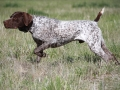 German Shorthaired Pointer1