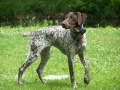 German Shorthaired Pointer5