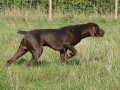 German Shorthaired Pointer7