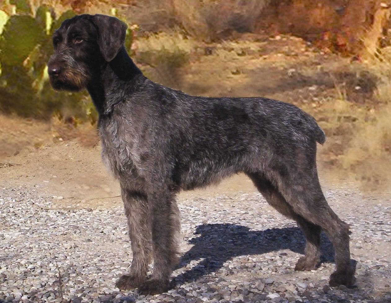 Black German Wirehaired Pointer | www.pixshark.com ...