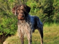 German Wirehaired Pointer 3