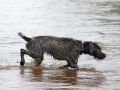hunting dog german wirehaired pointer on the river during duck hunt