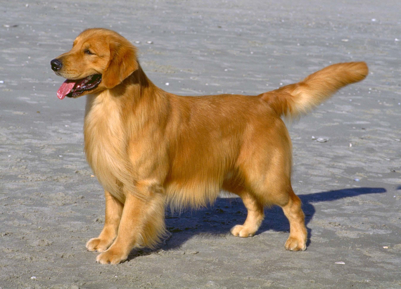 Big Dog Like A Golden Retriever