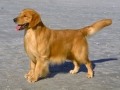 Golden Retriever 3