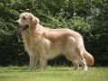 Beautiful Golden Retriever Dog Standing