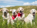 Group Of Young Golden Retriever Dogs Posing In The Field In Sunny Day In Summer. Three Golden Puppy