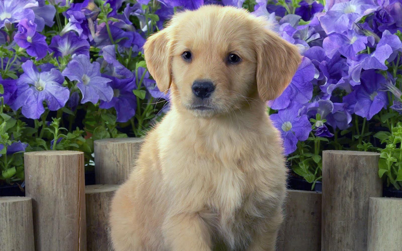 Golden Retriever All Big Dog Breeds