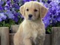 Golden Retriever puppy 1