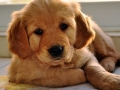 Golden Retriever puppy 2
