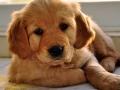 Golden Retriever puppy 2