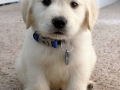 Golden Retriever puppy 3