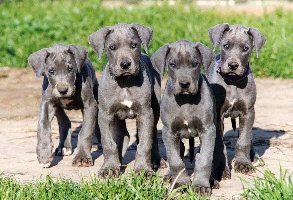 Great Dane All Big Dog Breeds