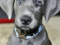 Great Dane puppy 1